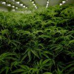 Are CBD Strains From Marijuana Like CBD From Hemp IE Hawaiian Haze